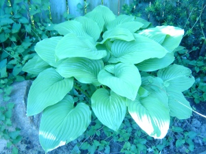 Hosta in Windsor Ontario Garden