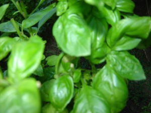 Fresh Basil in the garden Windsor at Style Organization